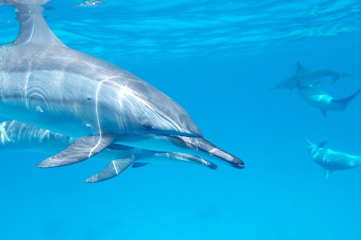 Koupání s delfíny v Karibiku
